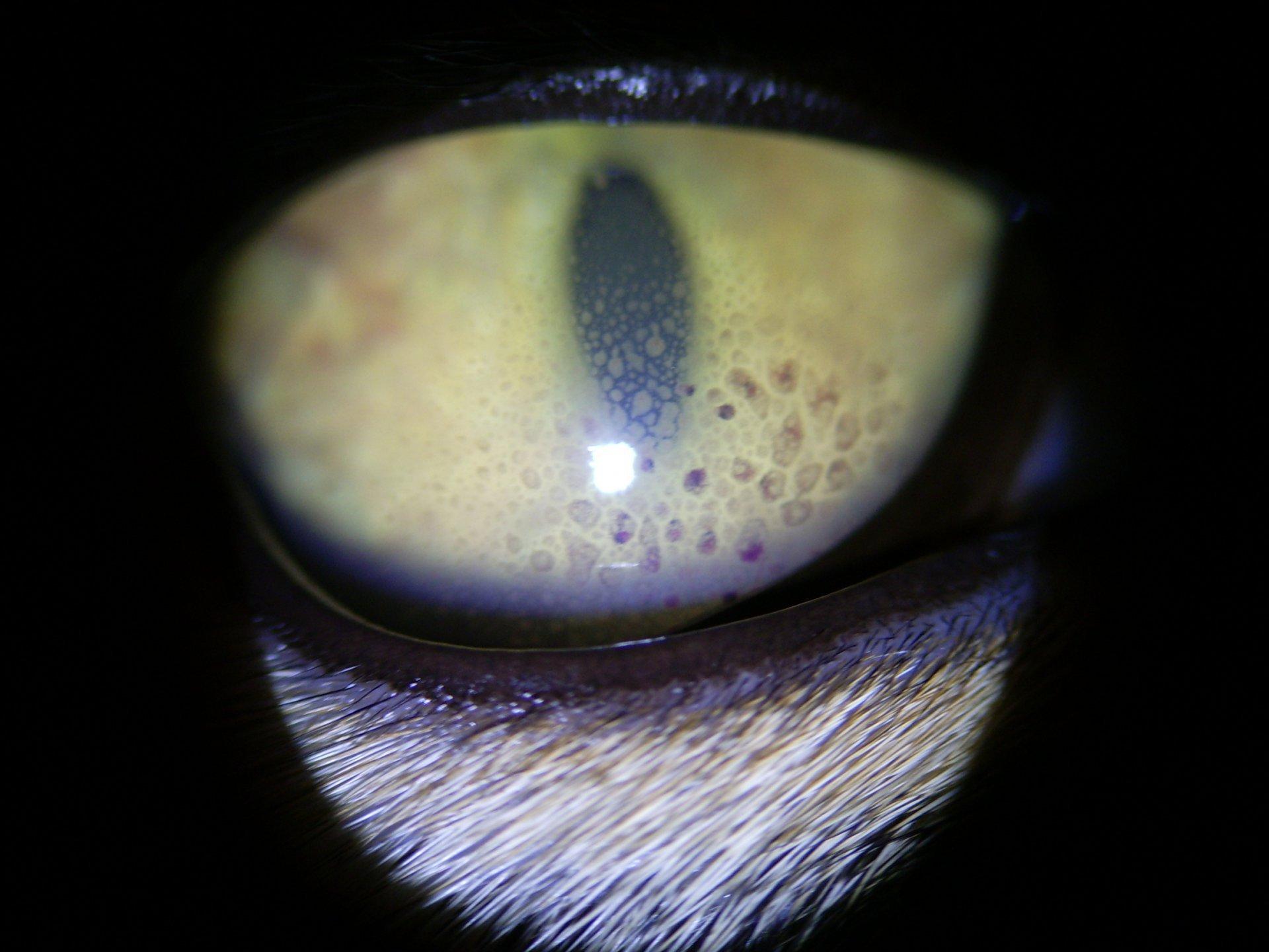 nitrooční zánět například při leuóze koček